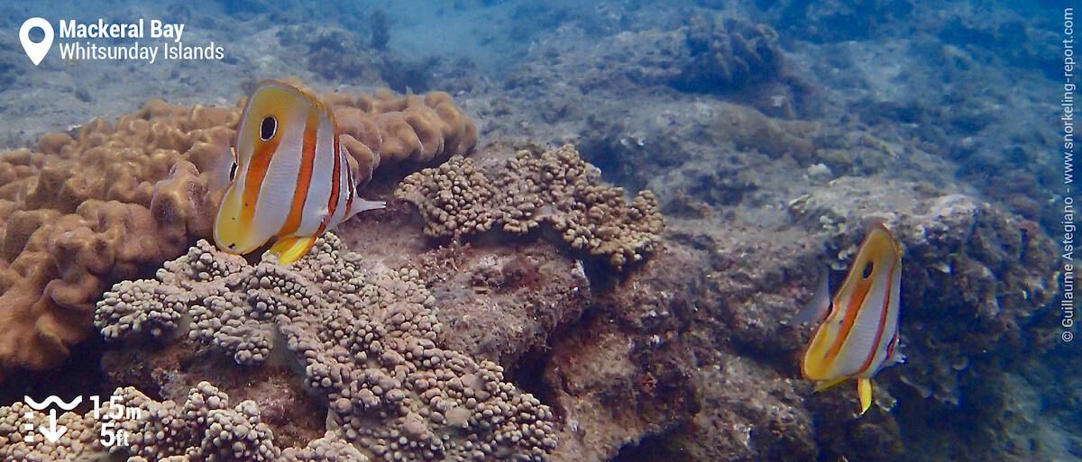 Cooperband butterflyfish