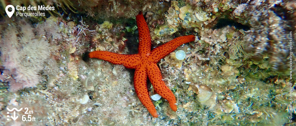 Etoile de mer rouge au Cap des Mèdes
