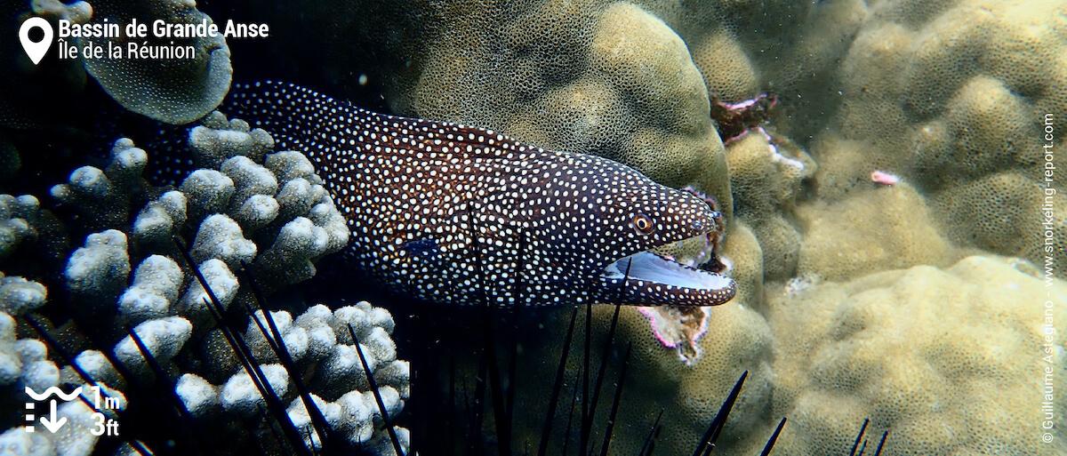 Murène ponctuée dans le bassin de Grande Anse