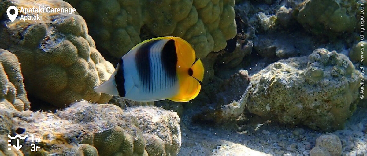Double-saddled butterflyfish in Apataki