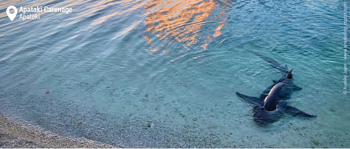 Sleeper shark in Apataki