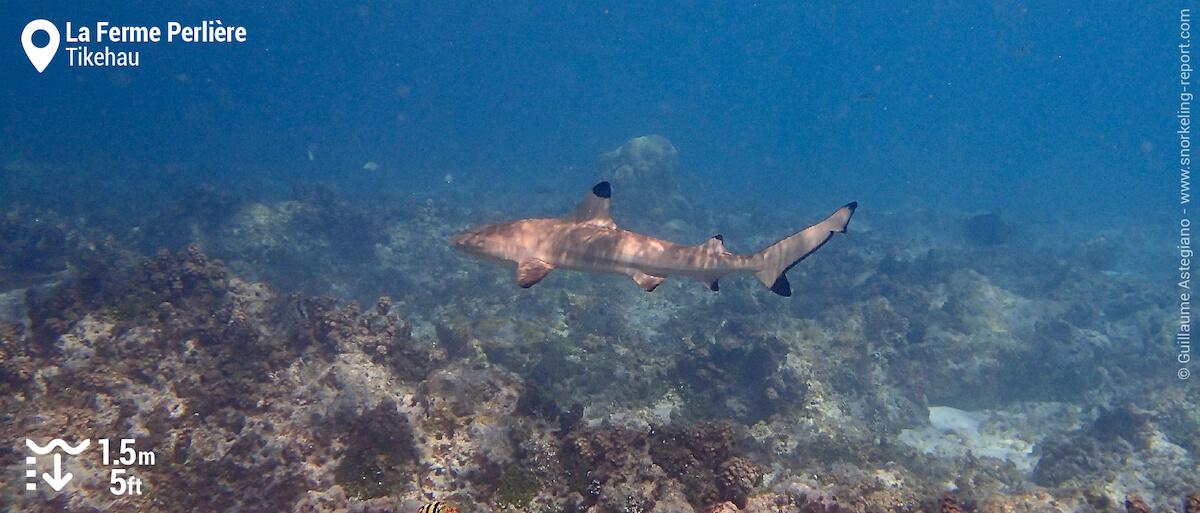 Requin à pointes noires à la Ferme Perlière