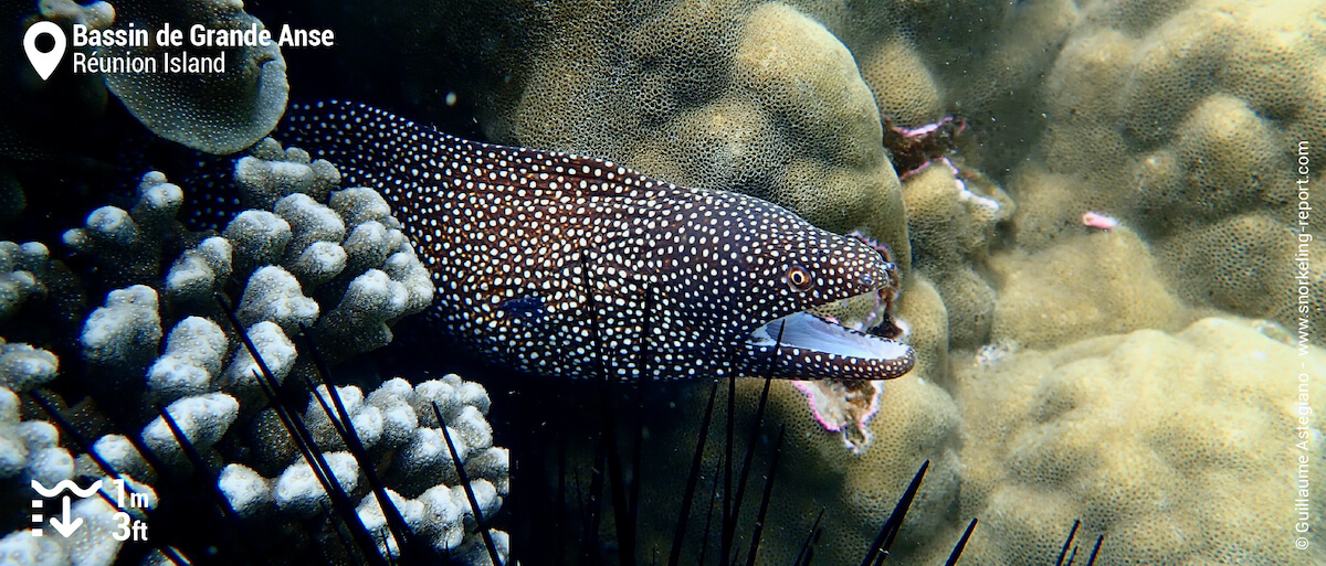 Turkey moray in Grande Anse pool