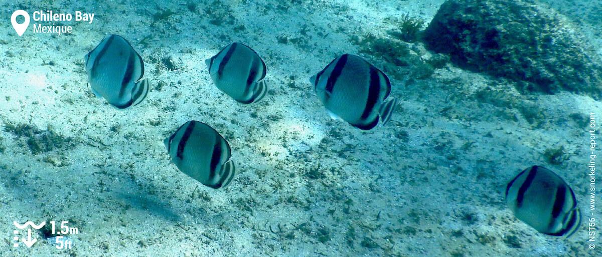 Banc de poissons-papillons à trois bandes