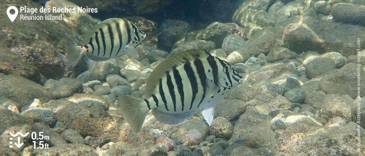 Black-barred surgeonfish