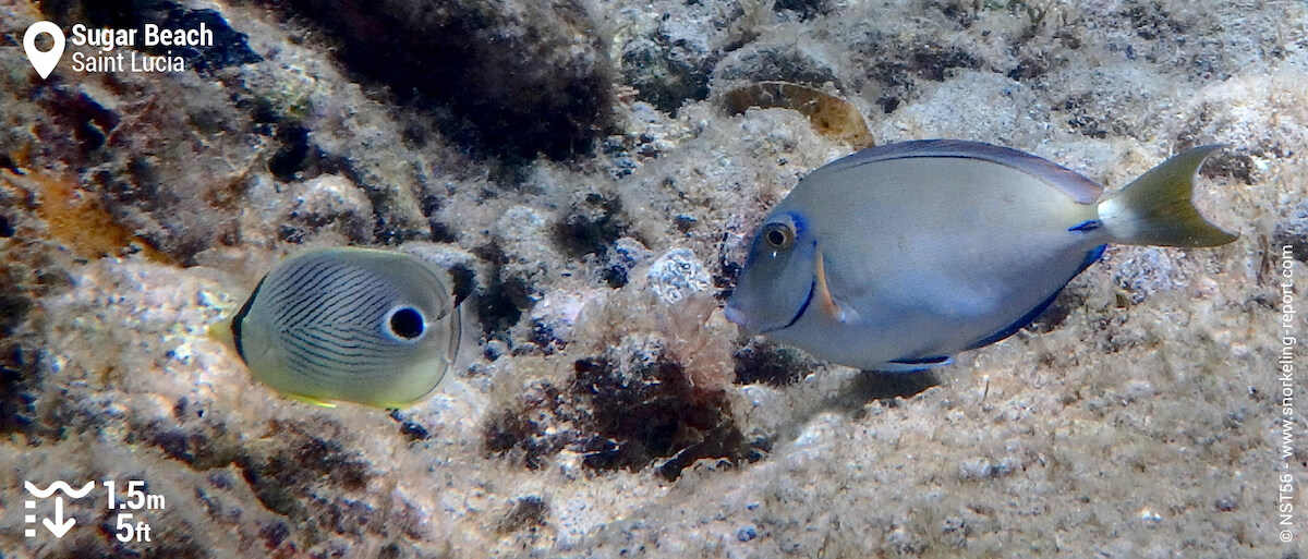 Ocean surgeonfish and foureye butterflyfish