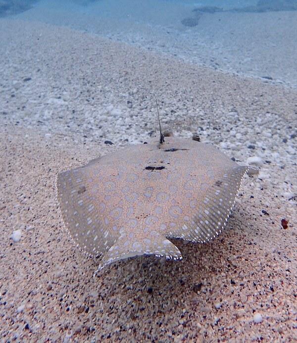 Flounder in sandy beds