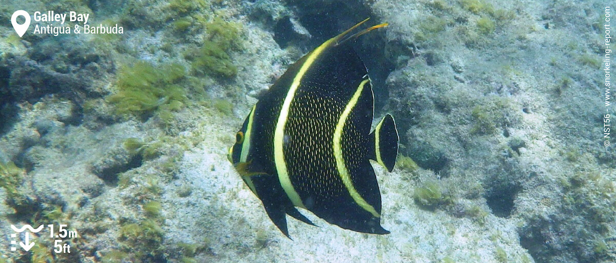 French angelfish in Galley Bay