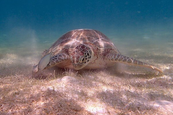 Green sea turtle in seagrass meadows