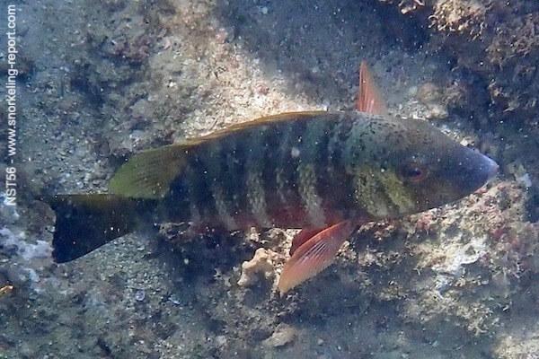 Hoplopagrus guentherii