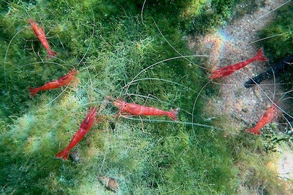 Shrimp in Indonesian lake
