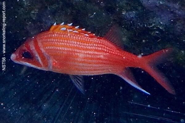 Neoniphon marianus