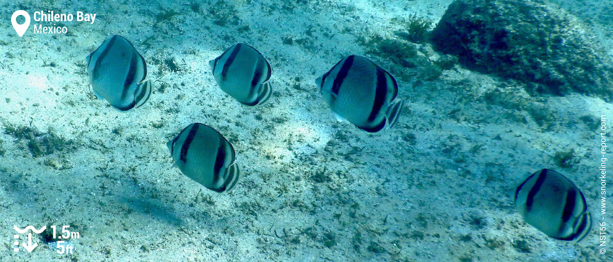 School of threebanded butterflyfish