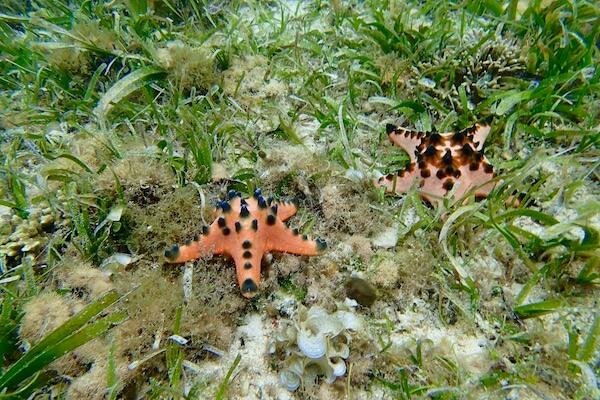 Sea stars in seagrass meadows