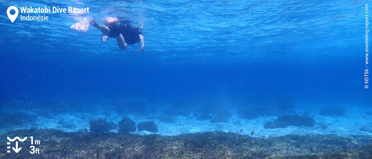 Snorkeleur sur le récif corallien de Wakatobi