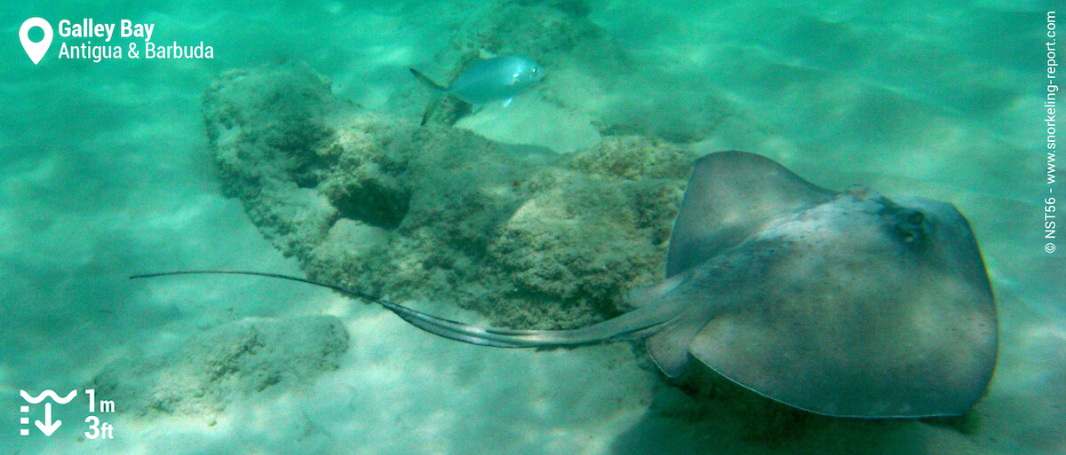Stingray in Galley Bay