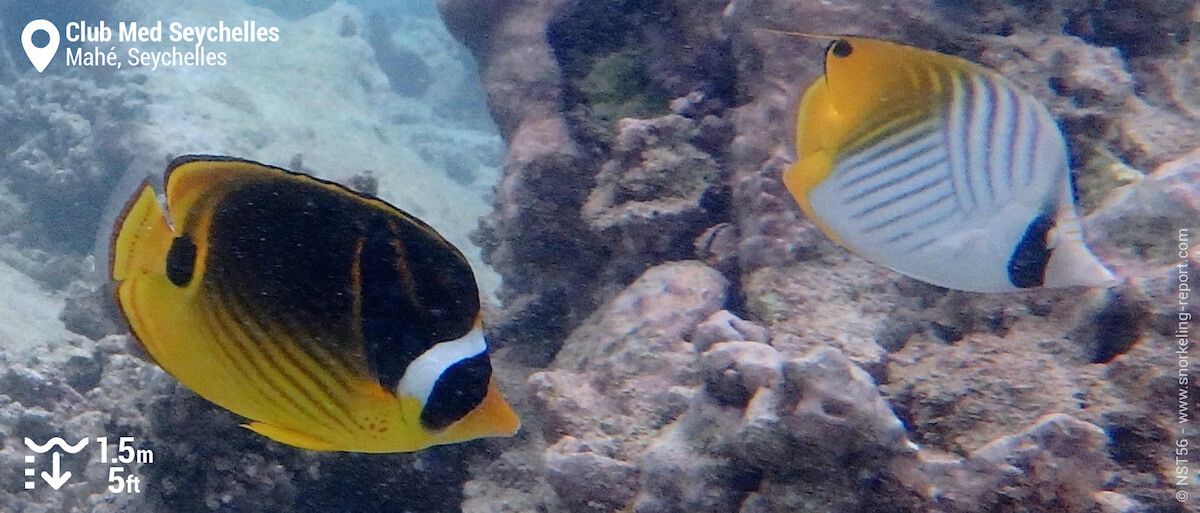 Butterflyfish at Club Med Seychelles