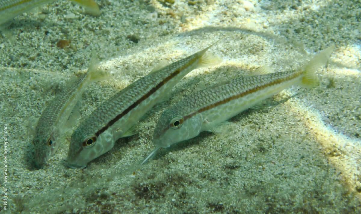 Goatfish in Mallorca