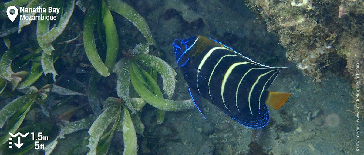 Goldtail angelfish at Nanatha Bay