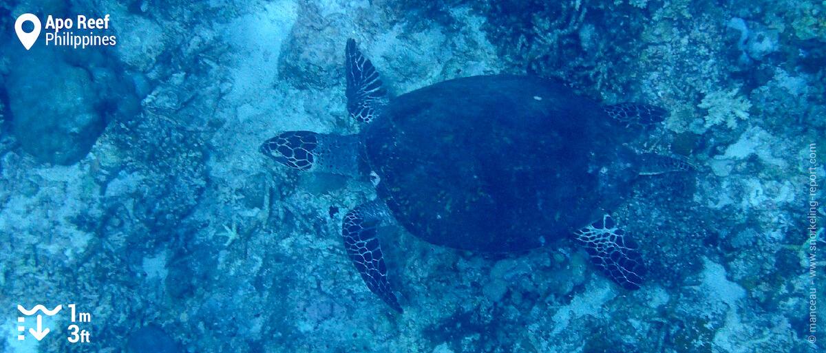 Hawksbill sea turtle at Apo Reef