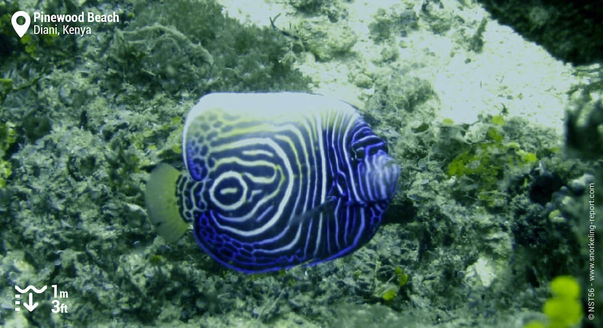 Juvenile emperor angelfish in Diani Beach
