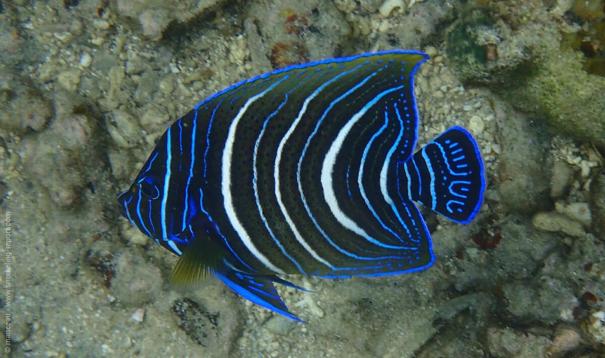 Juvenile semicircle angelfish in Nuarro Lodge