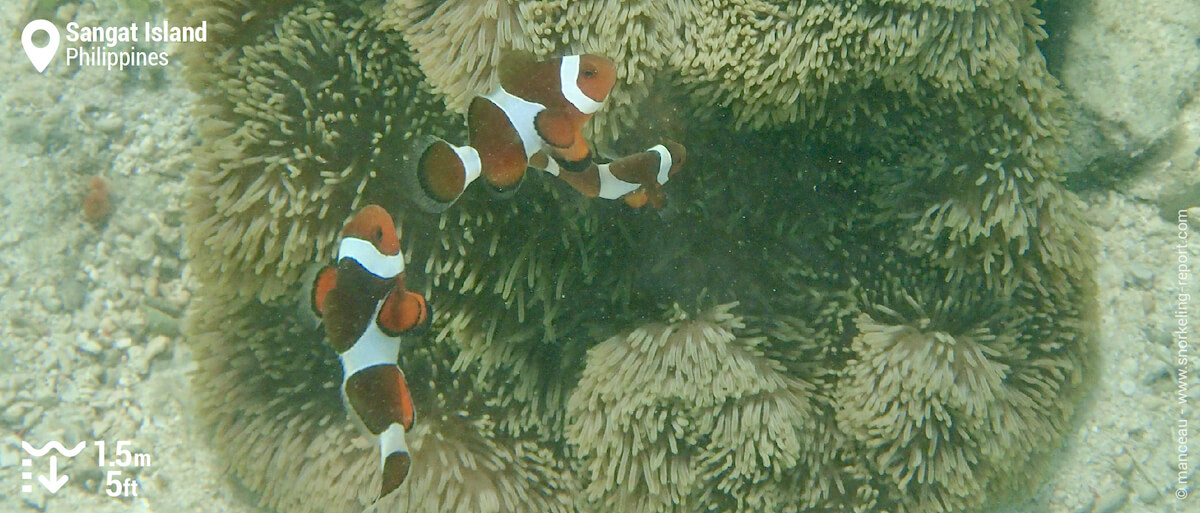 Ocellaris clownfish in Sangat Island