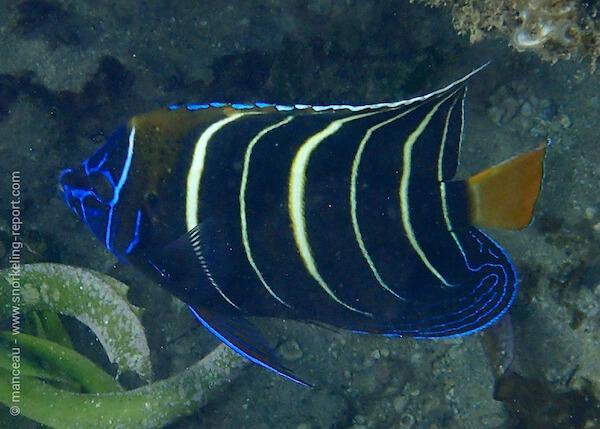 Pomacanthus chrysurus