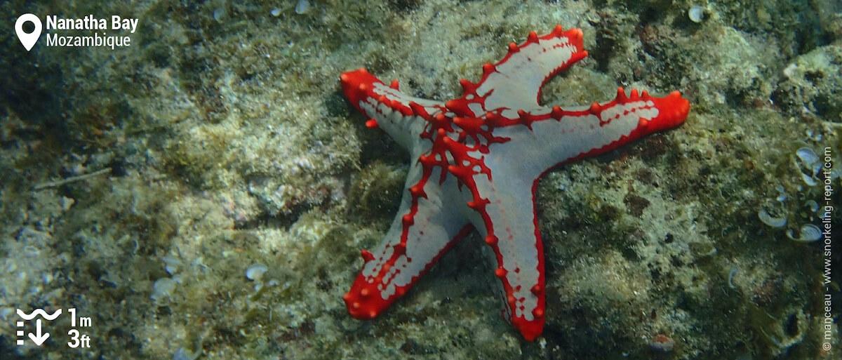 Red-knobbed starfish at Nuarro Lodge