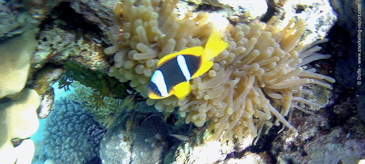 Red sea anemonefish in Israel