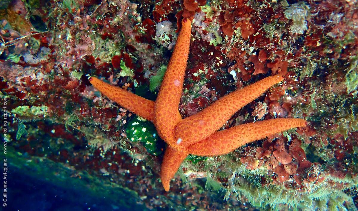 Red starfish in Ibiza