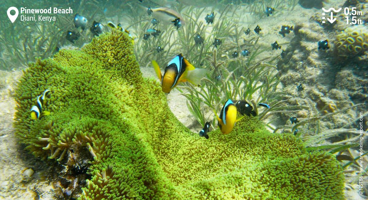 Twobar anemonefish in Diani Beach