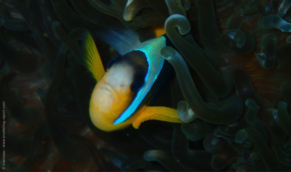 Twobar anemonefish in Nuarro Lodge