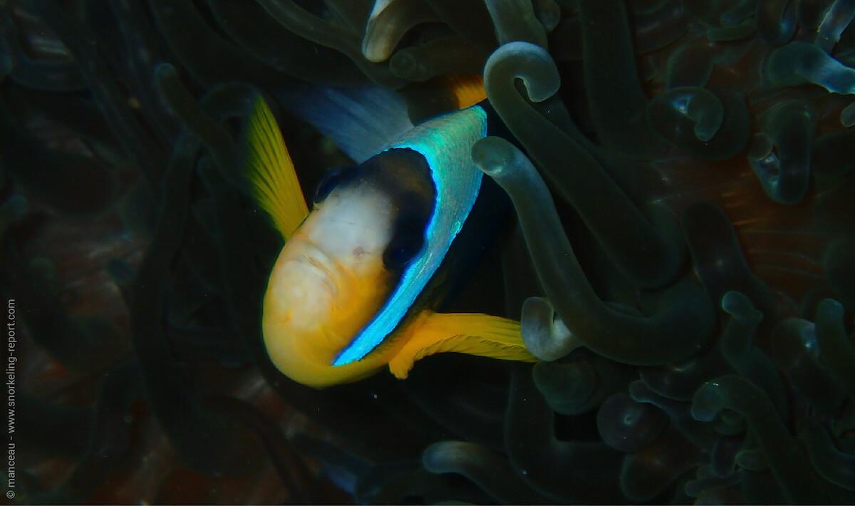 Twobar anemonefish in Nuarro Lodge
