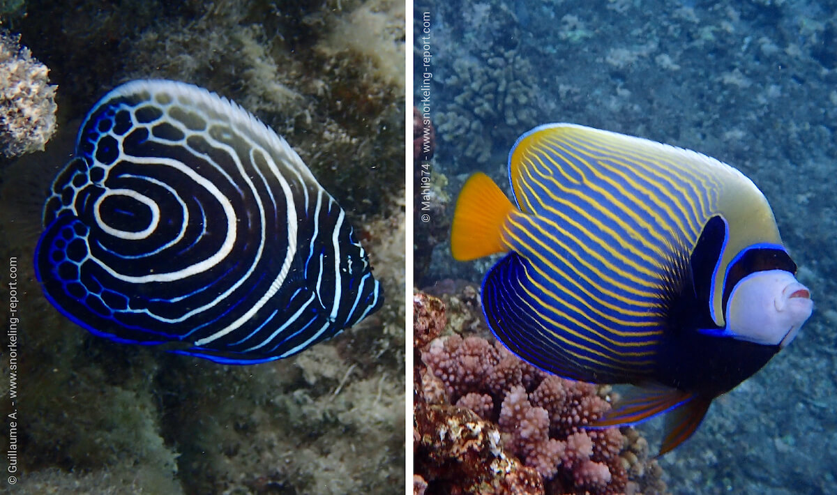 Difference between juvenile and adult emperor angelfish