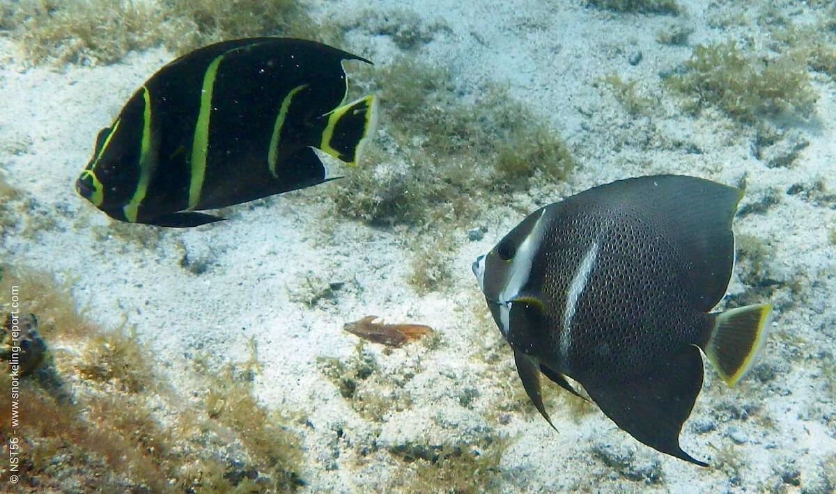 Angelfish of the Caribbean