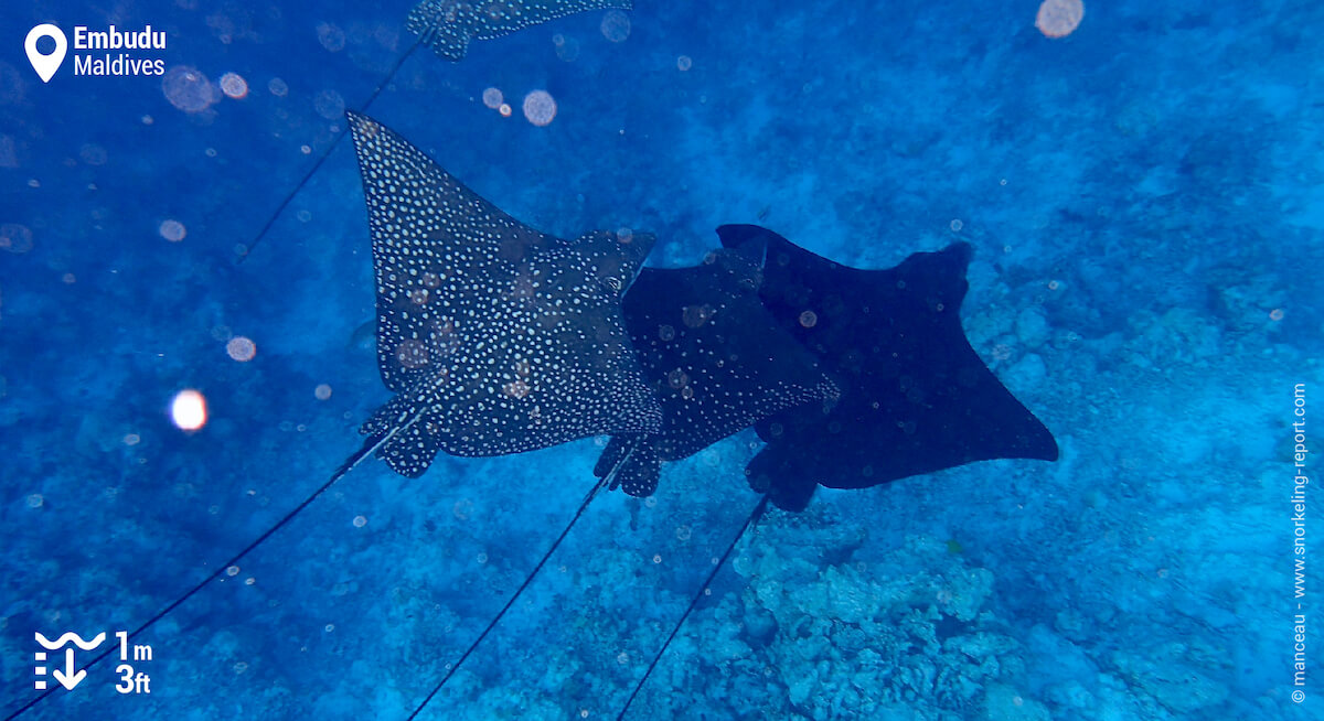 Spotted eagle rays at Embudu Village