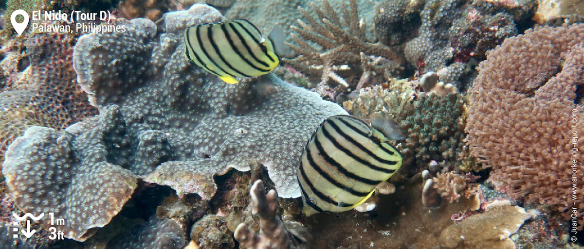 Pair of eightband butterflyfish