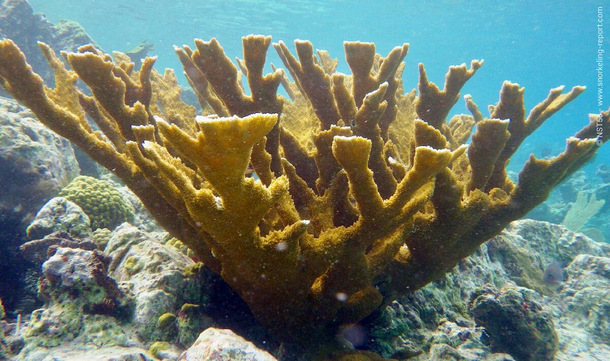 Elkhorn coral in St Johns