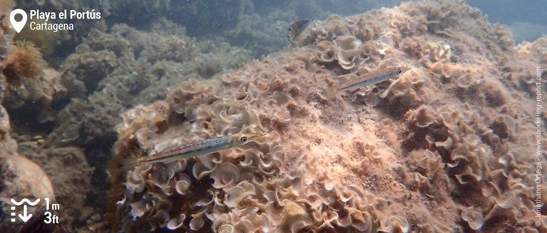 European barracuda at Playa El Portús