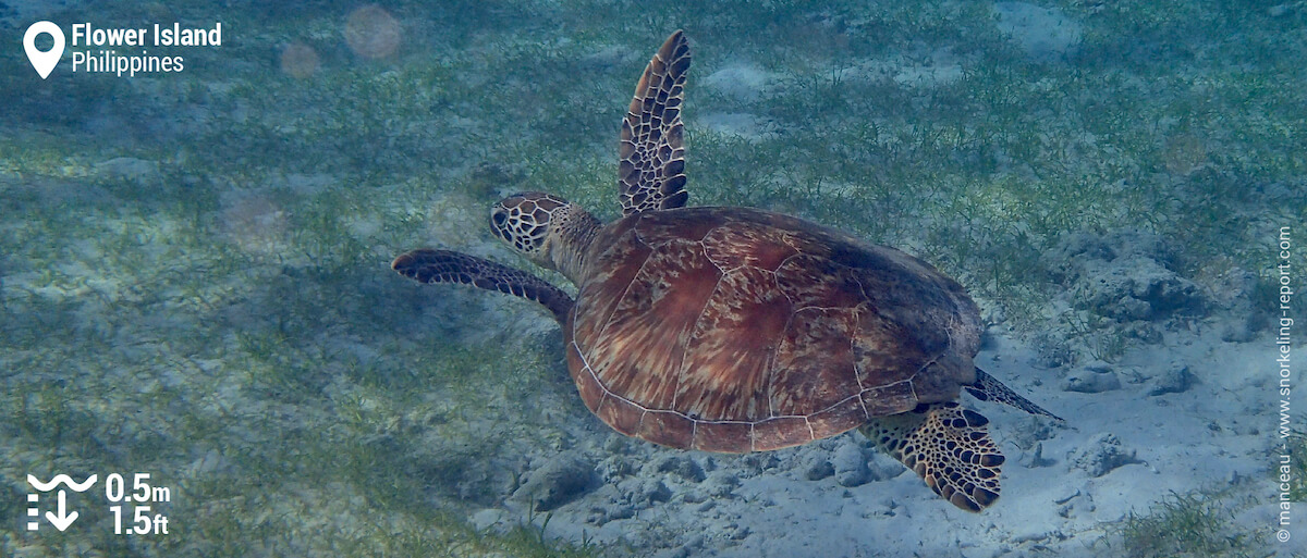 Green sea turtle in Flower Island's seagrass beds