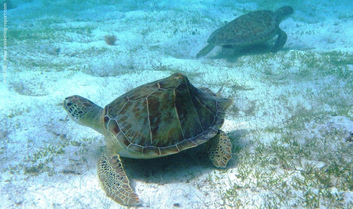 Green sea turtles in US Virgin Islands