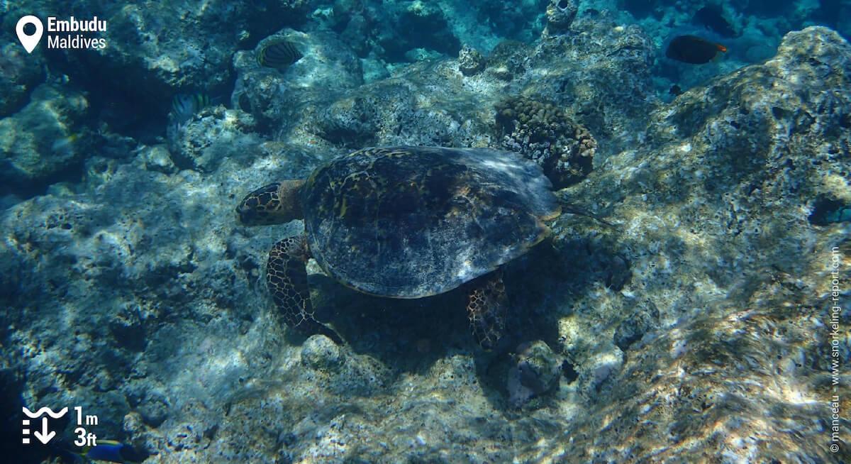 Hawksbill sea turtle in Embudu
