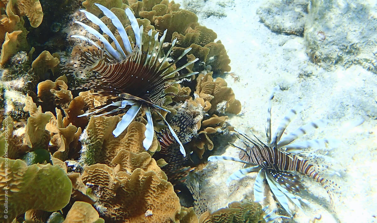 Lionfish invasion in the Caribbean