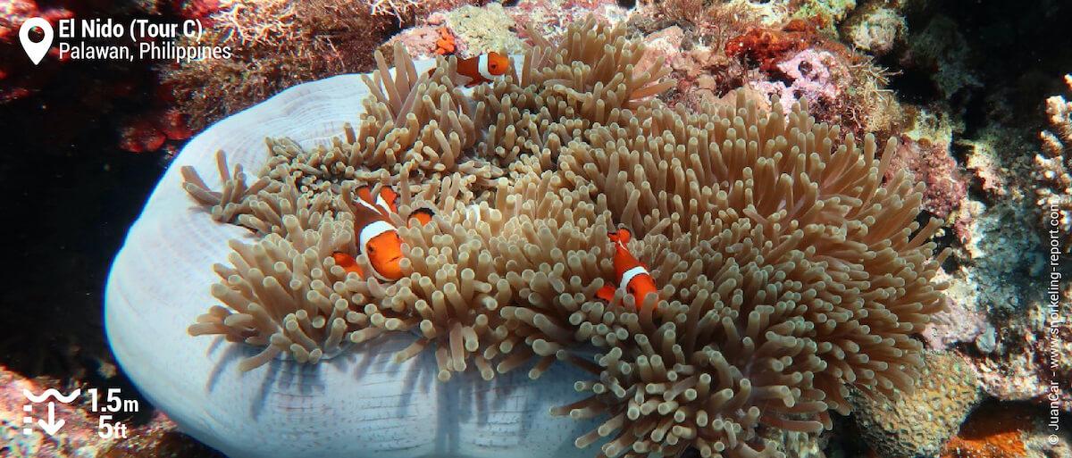Ocellaris clownfish at El Nido