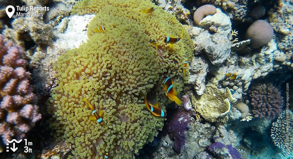 Red sea clownfish at Tulip Resorts reef