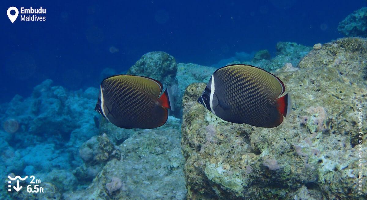 Pair of redtail butterflyfish at Embudu