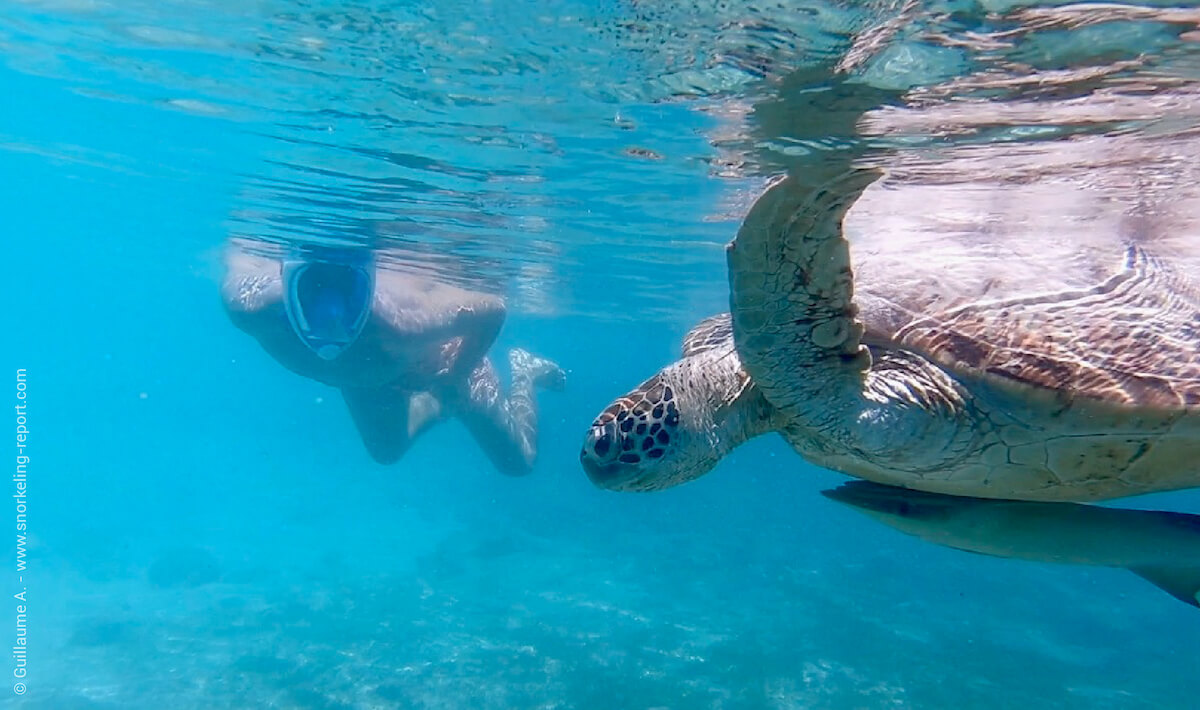 A snorkeler watching a sea turtle at the surface of the sea