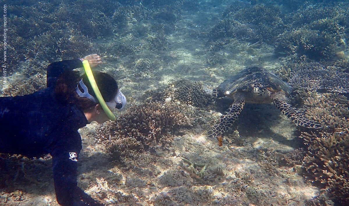 A snorkeler is watching a hawksbill sea turtle in Indonesia