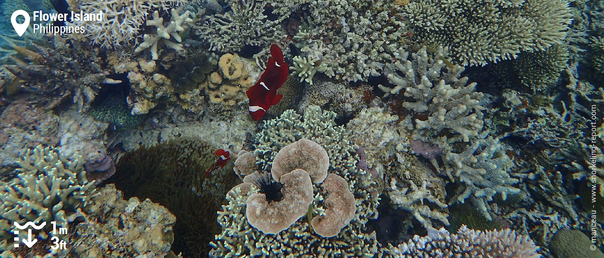Spinecheek anemonefish at reef